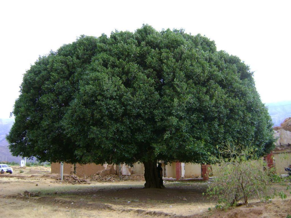 Salvar el árbol de la Quina